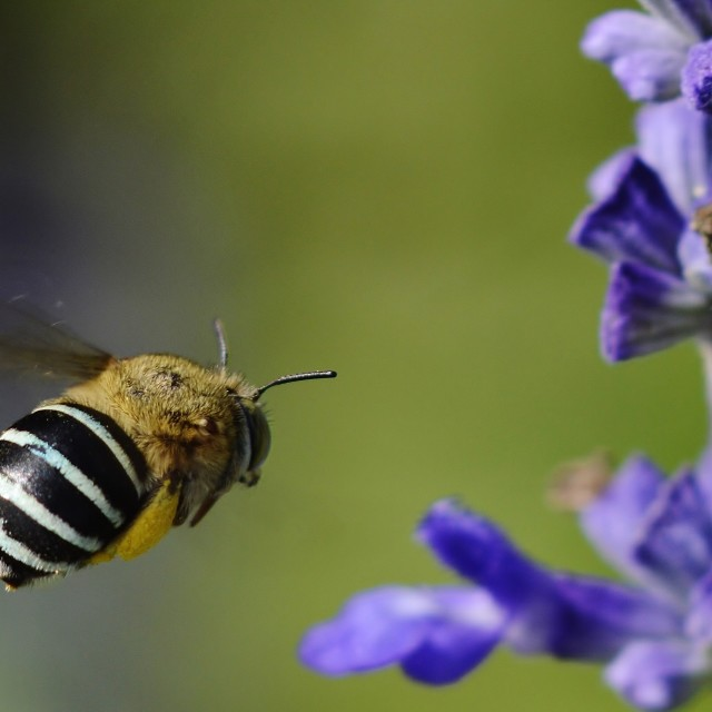 """Blue Banded Bee Flying Towards Flower"" stock image"