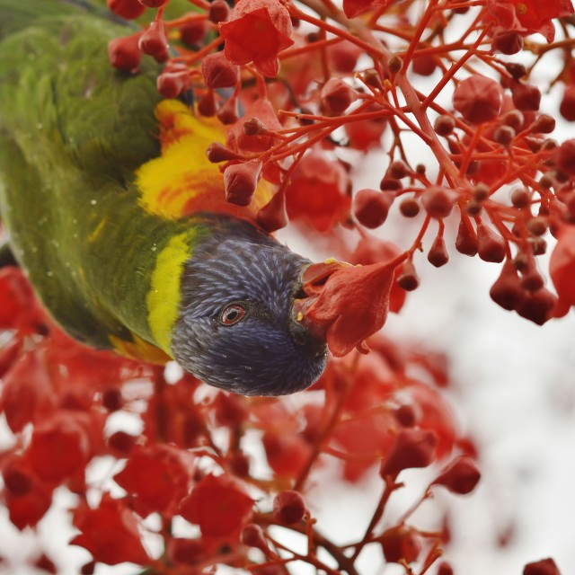 """Rain Flecked Rainbow Lorikeet Busy Eating Nectar"" stock image"