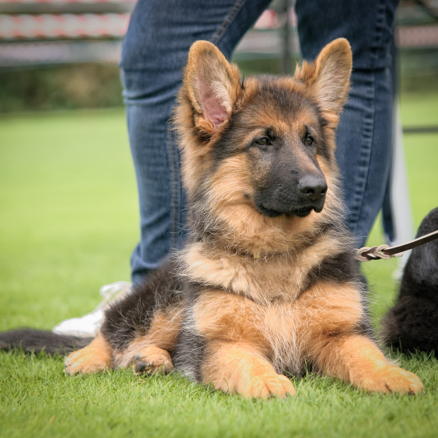 """""""GSD puppy"""" stock image"""