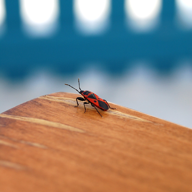 """A red bug in Santorini"" stock image"