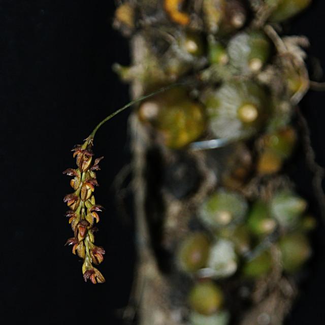 """Bulbophyllum triste orchid"" stock image"