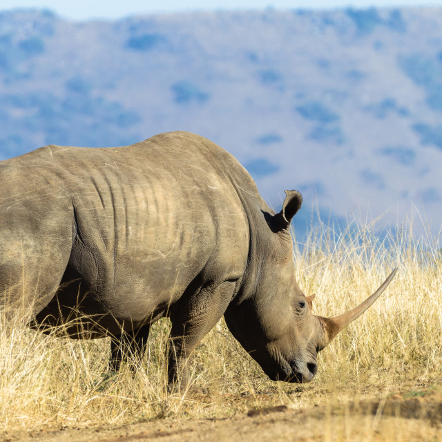"""Rhino Wildlife Animal Grasslands"" stock image"