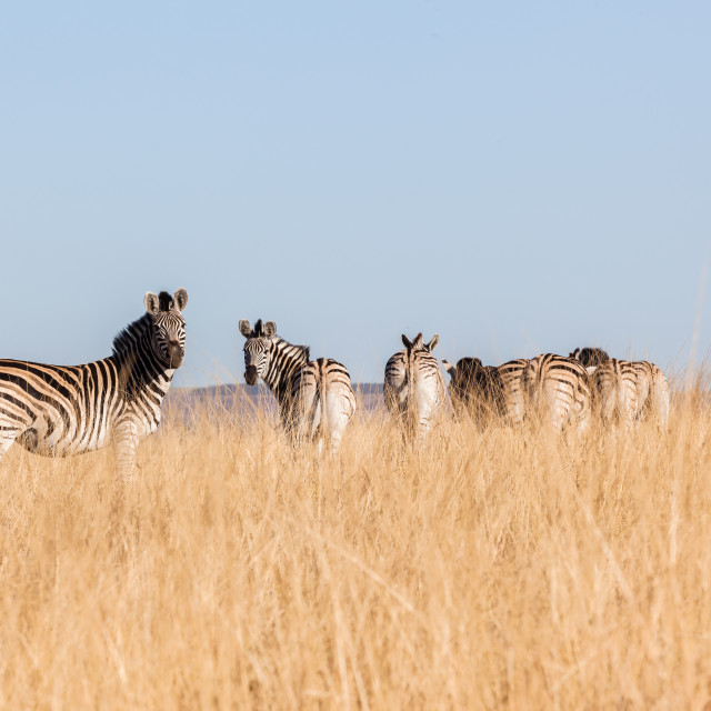 """Zebra's Wildlife Grasslands"" stock image"