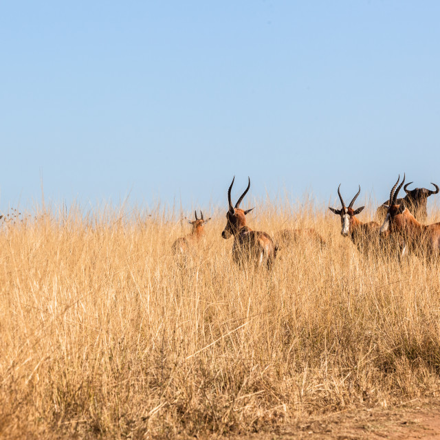 """Buck Animals Wildlife Grasslands"" stock image"