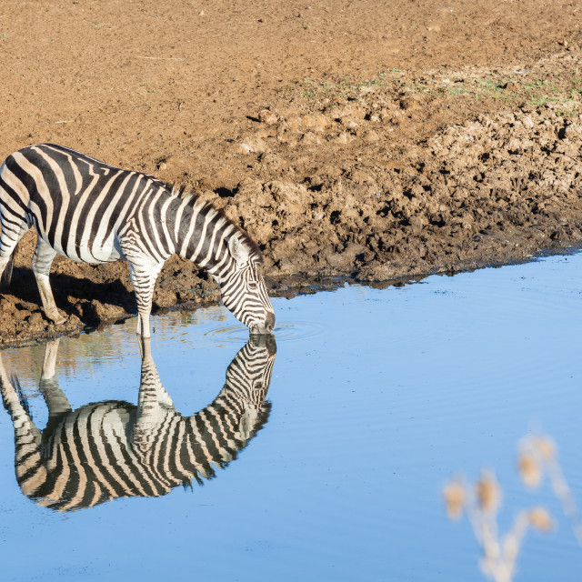 """Zebra Waterhole Mirror Double Wildlife"" stock image"