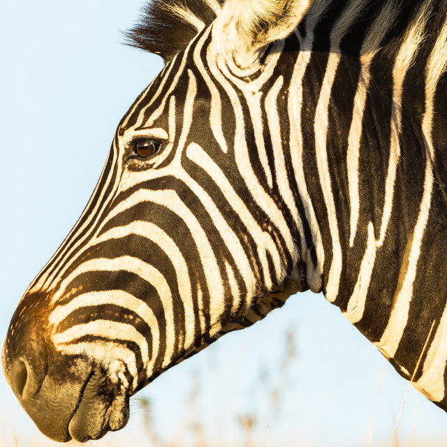 """Zebra Wildlife Portrait Habitat"" stock image"