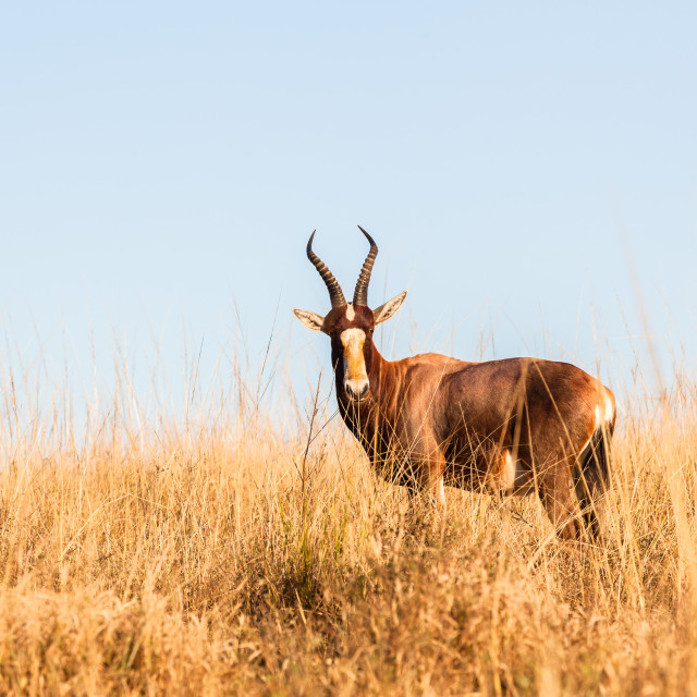 """Buck Grasslands Habitat Wildlife"" stock image"