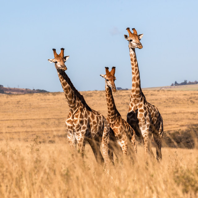 """Giraffes Three Wildlife Animals"" stock image"