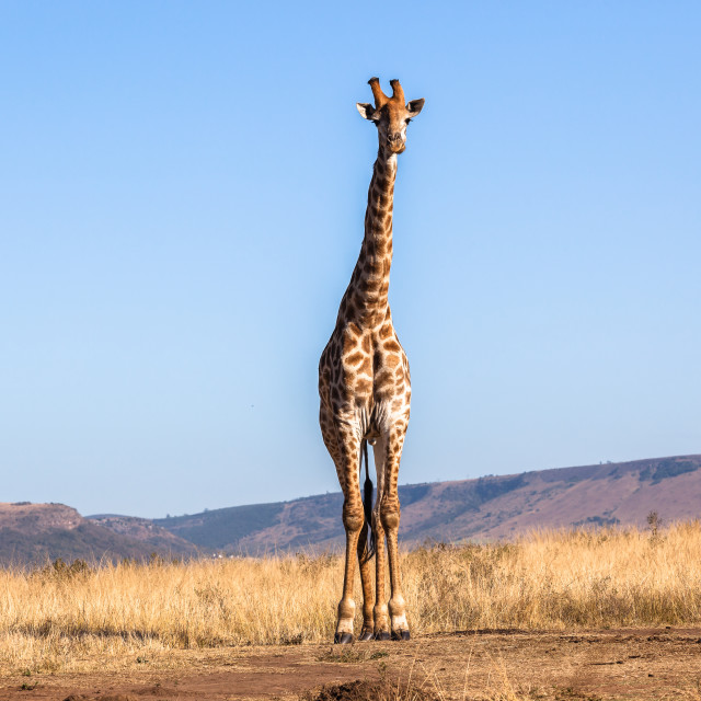 """Giraffe One Wildlife Animals"" stock image"