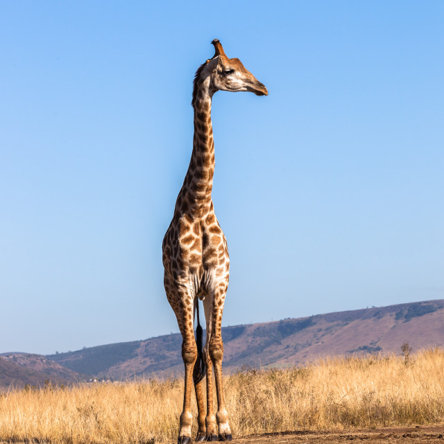 """Giraffe Blue Sky Wildlife Animal"" stock image"