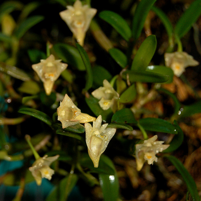 """Dendrobium pachyphyllum Orchid"" stock image"