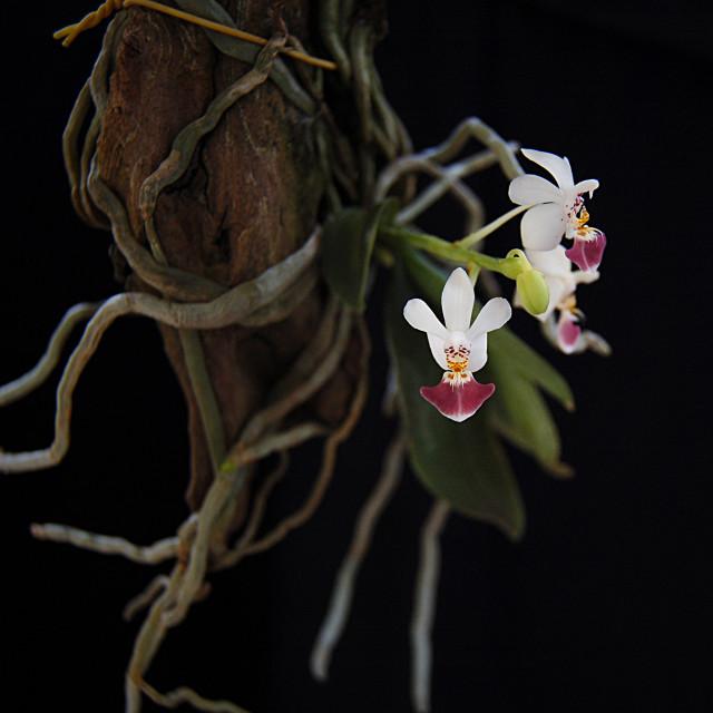 """""""Phalaenopsis parishii"""" stock image"""