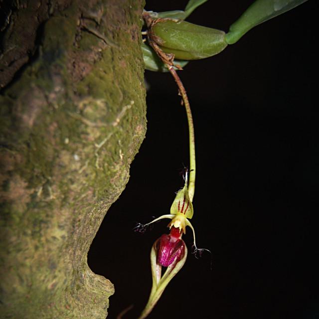 """Bulbophyllum fascinator"" stock image"