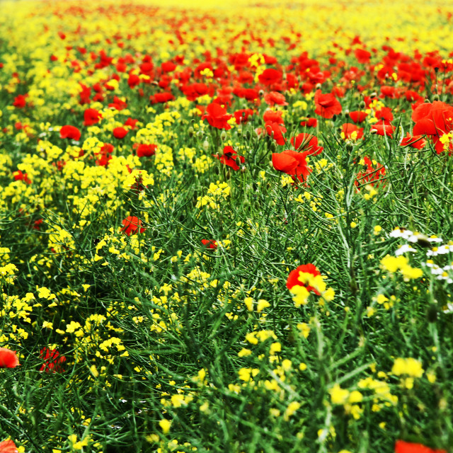 """Daisies, Poppies, oil seed rape"" stock image"