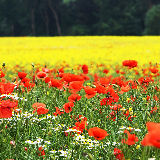 """Daisies, poppies and oil seed rape"" stock image"