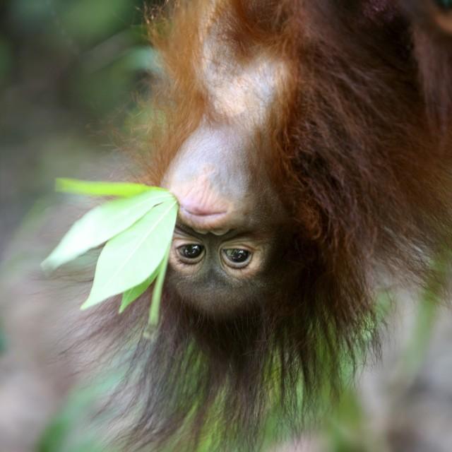 """""""Baby Orangutan - just hanging around!"""" stock image"""