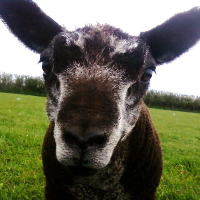 """""""Bluebell the lamb"""" stock image"""