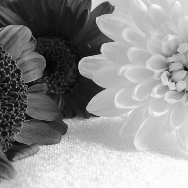 """""""Three chrysanthemum's"""" stock image"""