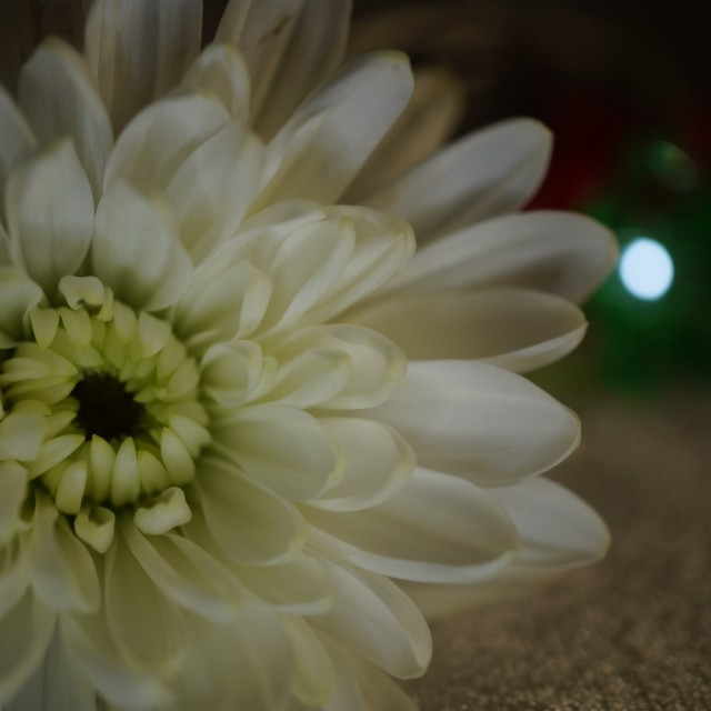 """Chrysanthemum flower"" stock image"