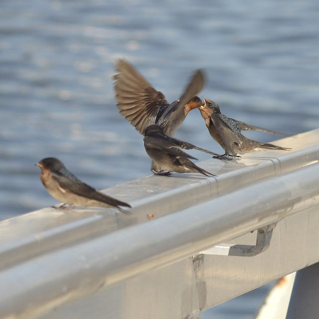 """Welcome Swallow Feeding Young"" stock image"