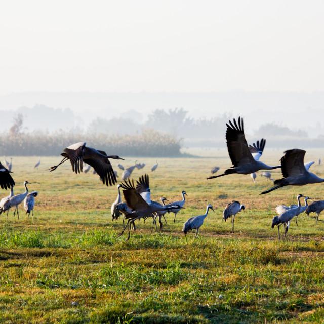 """""""Crane Birds at Hula Valley"""" stock image"""