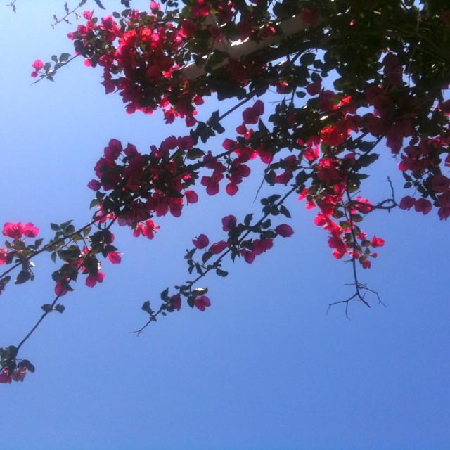 """""""Sorento blossom"""" stock image"""
