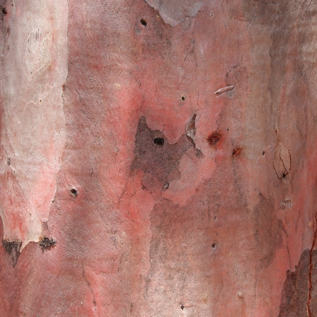 """Gum tree bark colours"" stock image"