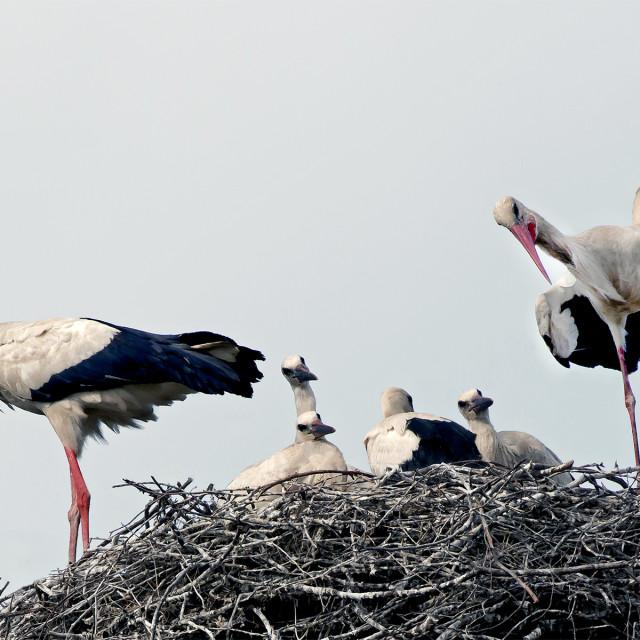 """""""Stork Family 2."""" stock image"""