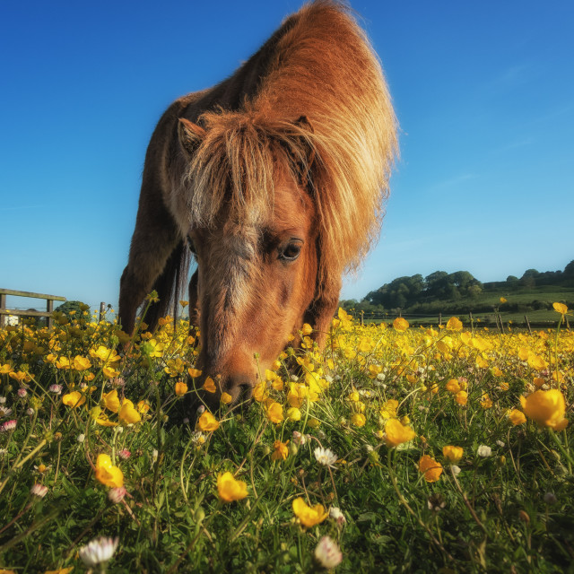 """""""Grazing In The Buttercups"""" stock image"""