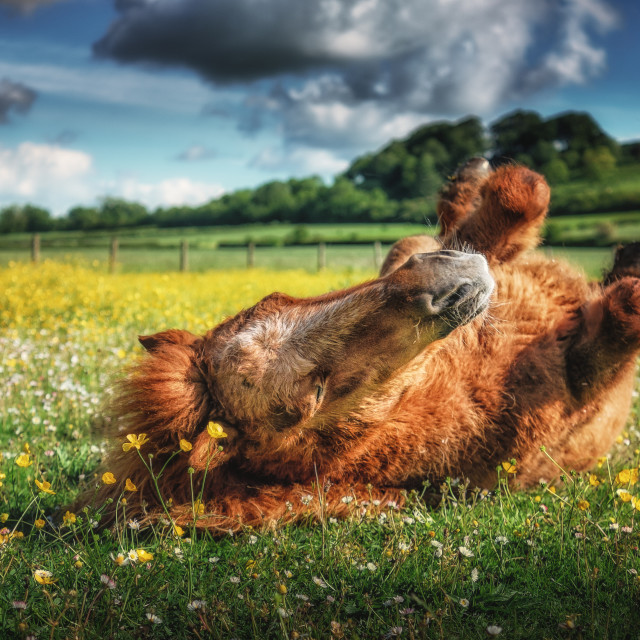 """Rolling In The Buttercups"" stock image"