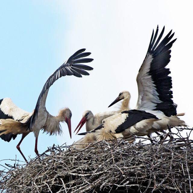 """""""Stork Family 3"""" stock image"""