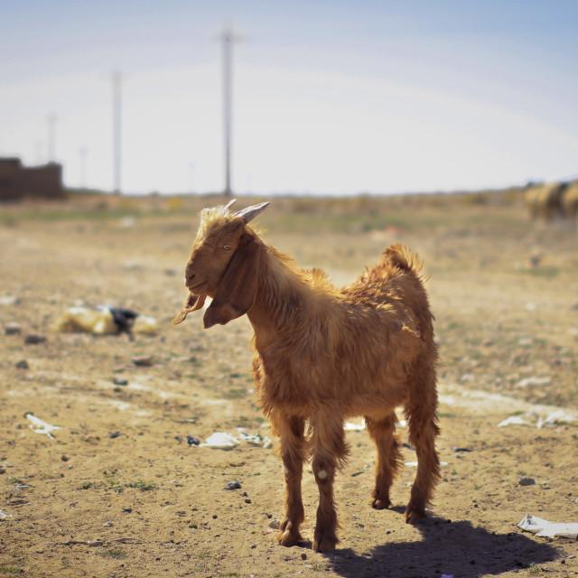 """""""Goat in the desert"""" stock image"""