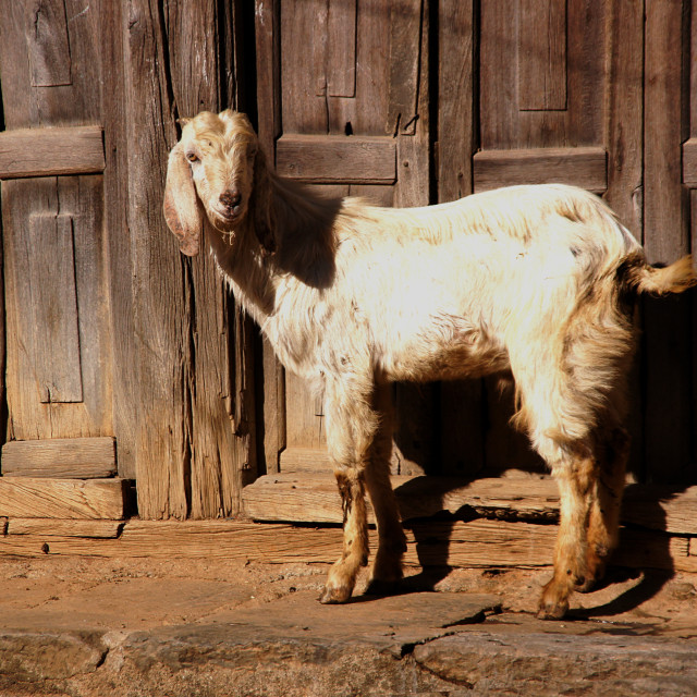 """A goat"" stock image"