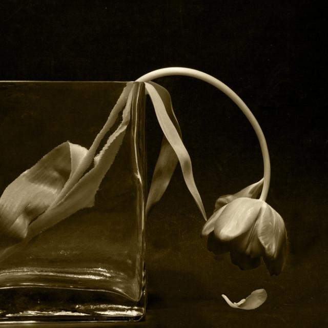 """Last gasp Tulip"" stock image"