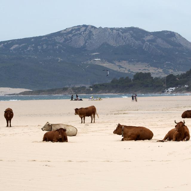 """Beach Cows."" stock image"