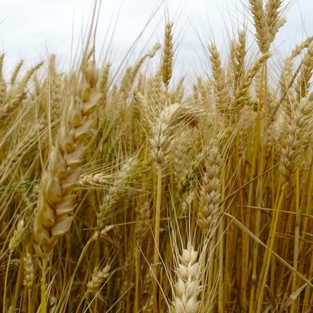 """""""Wheat (xeon)"""" stock image"""