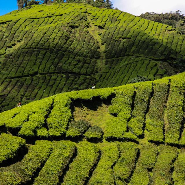 """""""Tea Picking"""" stock image"""