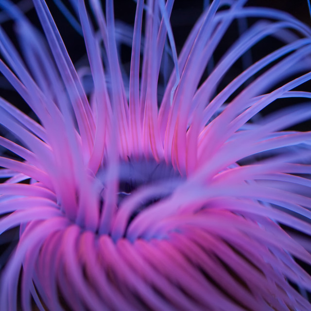 """Pink Sea Anemone"" stock image"