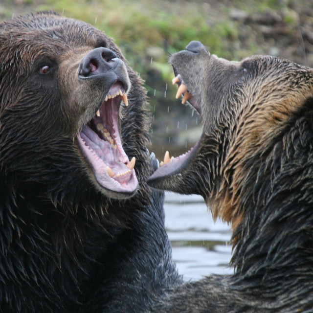 """bear fight"" stock image"