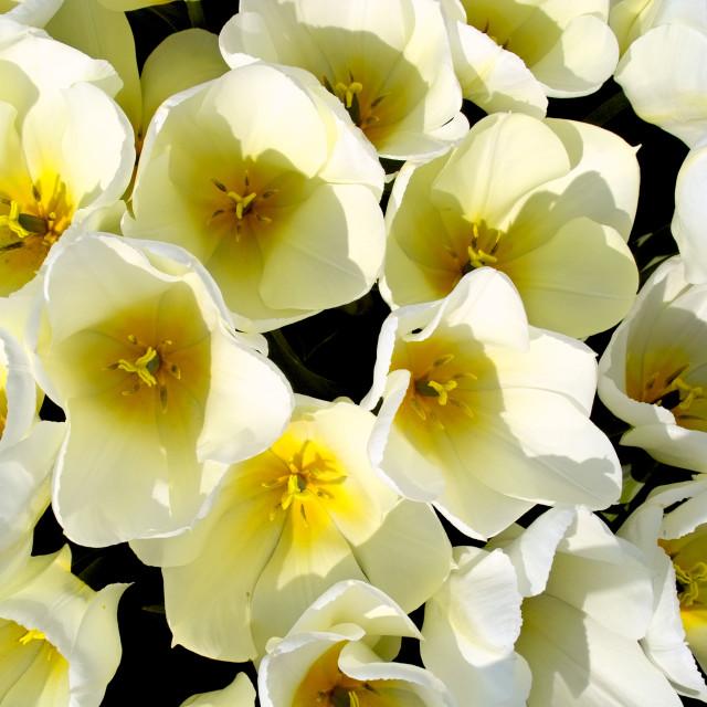 """""""White tulips yellow heart"""" stock image"""