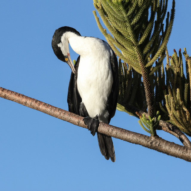 """Pied shag (cormorant)"" stock image"
