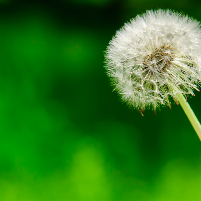"""Dandelions of the wind"" stock image"