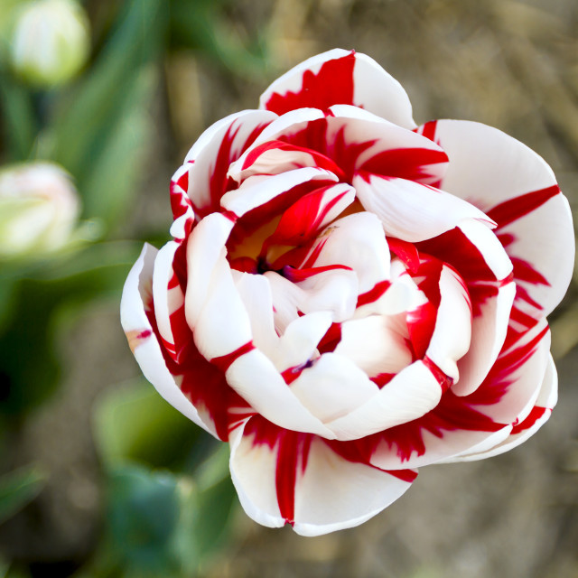 """""""Flaming Club Tulip from above"""" stock image"""