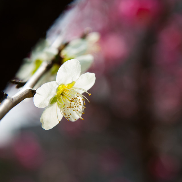 """ume flower"" stock image"