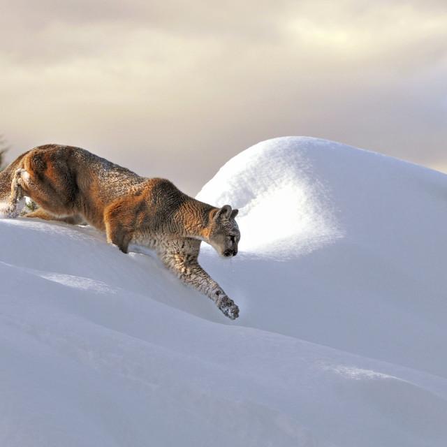 """Mountain Lion Cresting Ridge"" stock image"