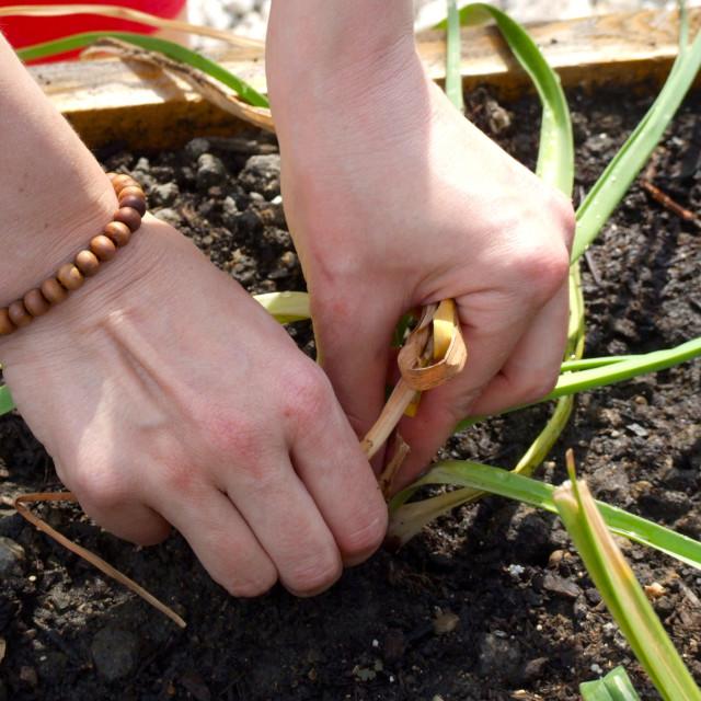 """Hands Planting An Urban Garden"" stock image"