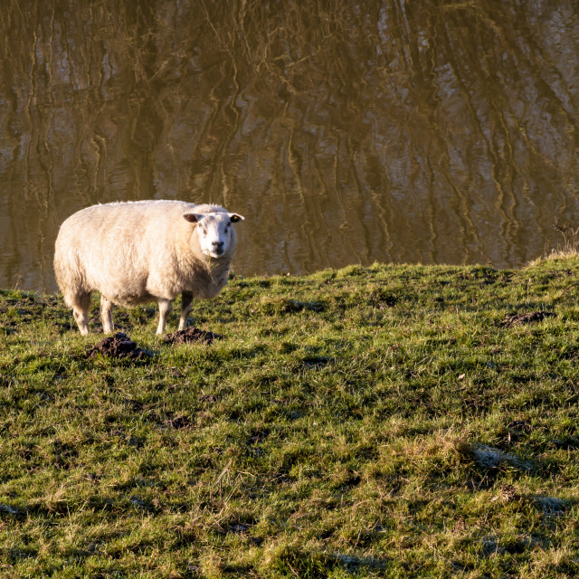 """Single sheep in sunlight"" stock image"