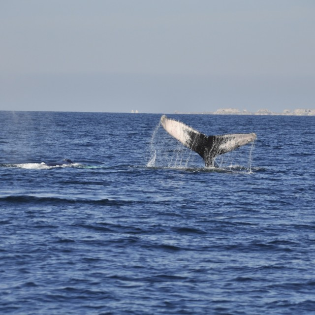 """""""Humpback whale"""" stock image"""