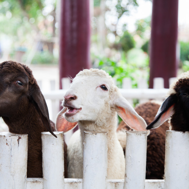 """""""cute lamb behind a fence"""" stock image"""