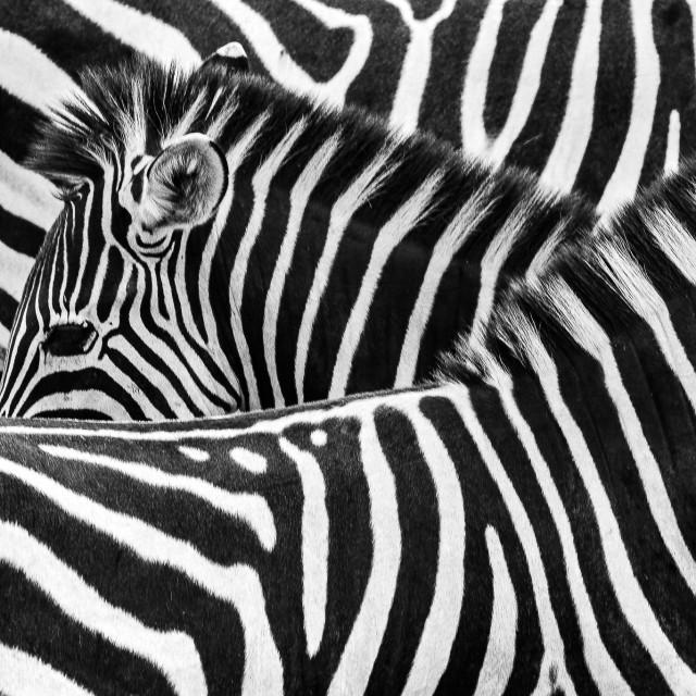 """""""Zebras!"""" stock image"""